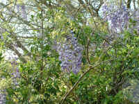 Beautiful wisteria - Photograph by Nancy Blackwell - no copying please