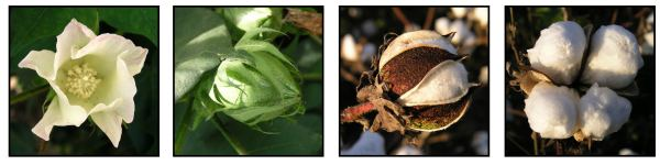 Stages of growth of cotton - blossom, bud, boll, and mature cotton boll with fluffy cotton before it is picked