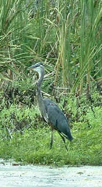 Great Blue Heron in the Delta 65 area