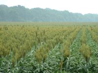 Milo - sorghum is grown along US65 in Louisiana - beauty of a different form...